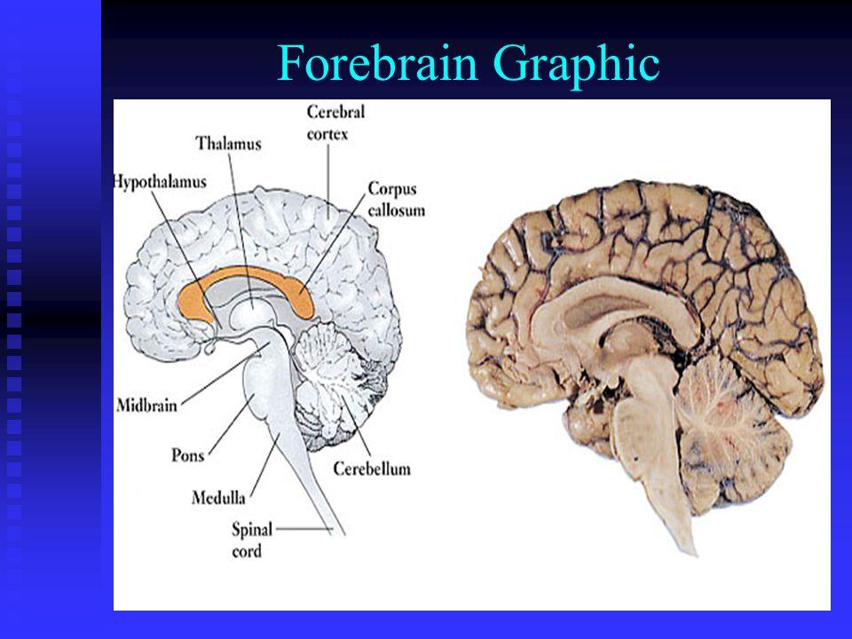 Forebrain Graphic