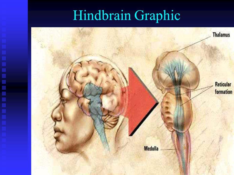 Hindbrain Graphic