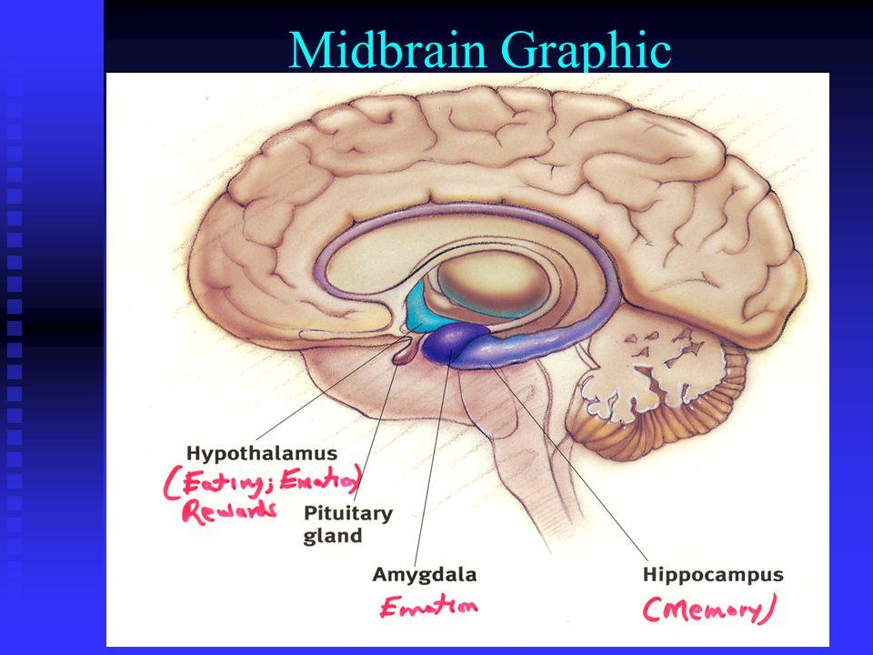 Midbrain Graphic