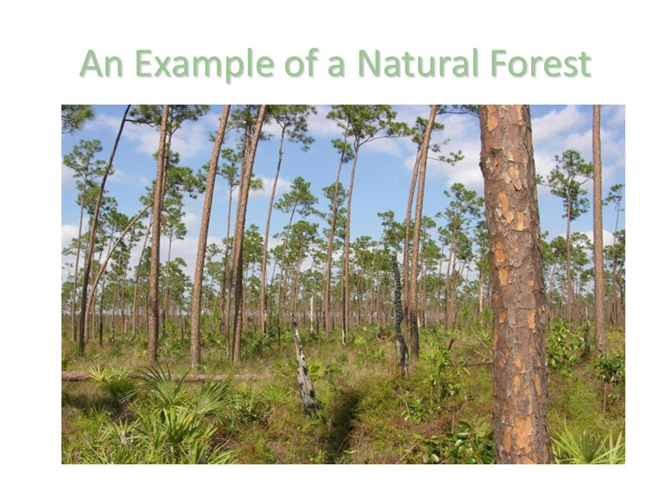 An Example of a Natural Forest
