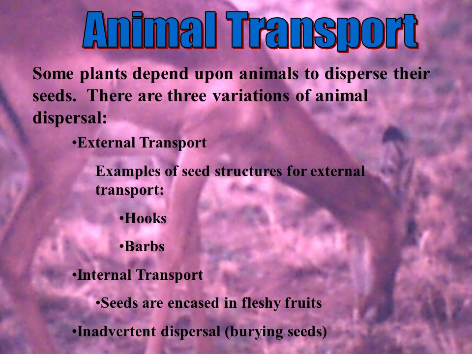 External Transport Examples of seed structures for external transport: Hooks Barbs Internal Transport Seeds are encased in fleshy fruits Inadvertent d