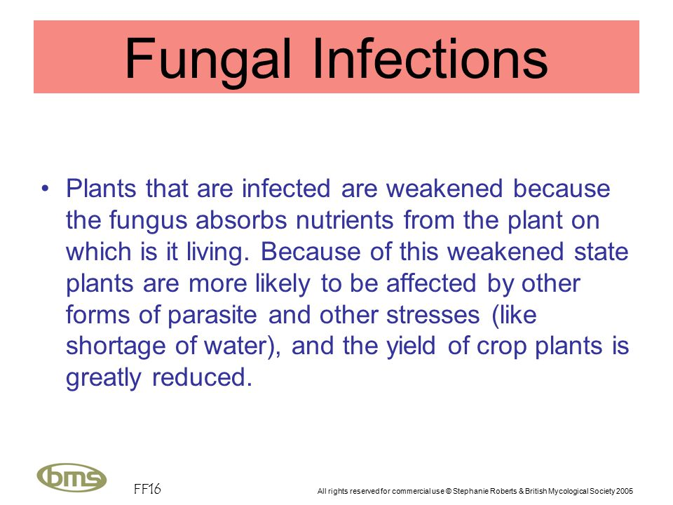 FF16 All rights reserved for commercial use © Stephanie Roberts & British Mycological Society 2005 Fungal Infections Plants that are infected are weakened because the fungus absorbs nutrients from the plant on which is it living.