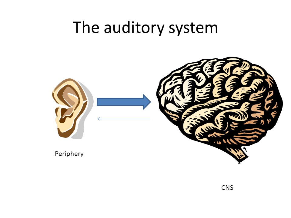 The auditory system Periphery CNS