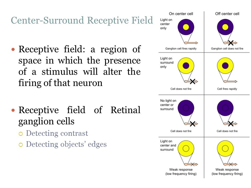 Center-Surround Receptive Field Receptive field: a region of space in which the presence of a stimulus will alter the firing of that neuron Receptive field of Retinal ganglion cells  Detecting contrast  Detecting objects' edges
