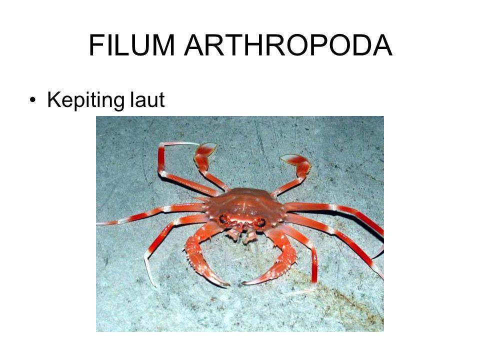 OCTOPUS (gurita) Chepalophoda