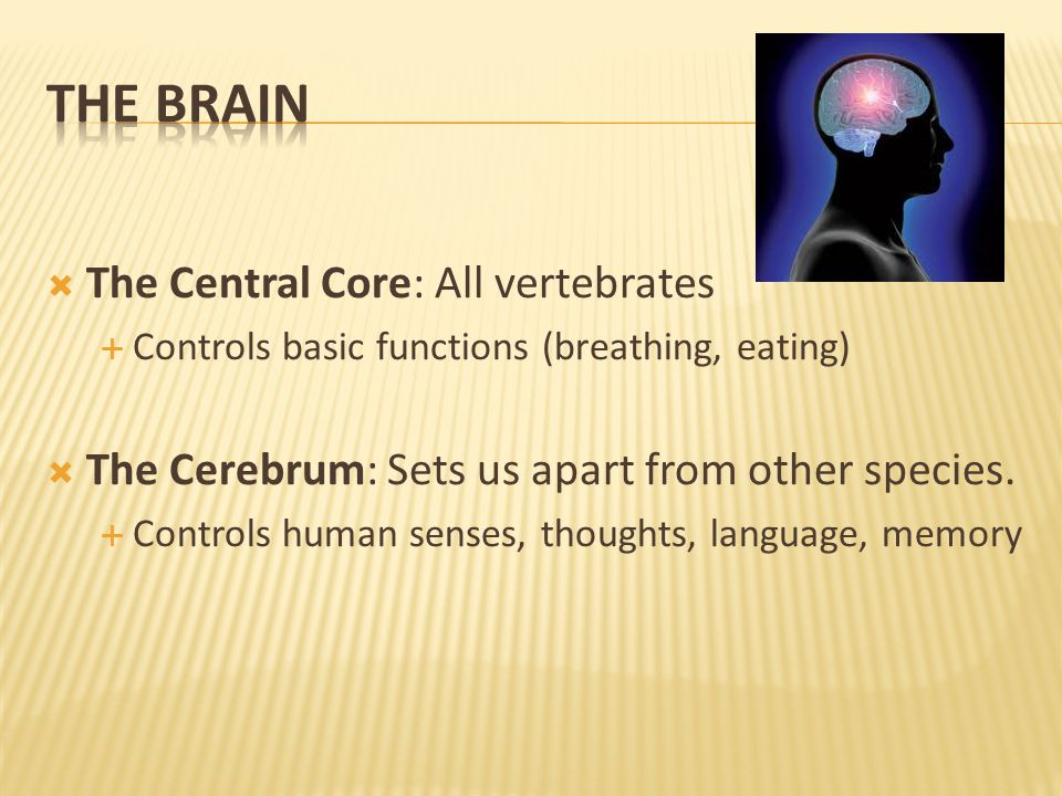  The Central Core: All vertebrates  Controls basic functions (breathing, eating)  The Cerebrum: Sets us apart from other species.