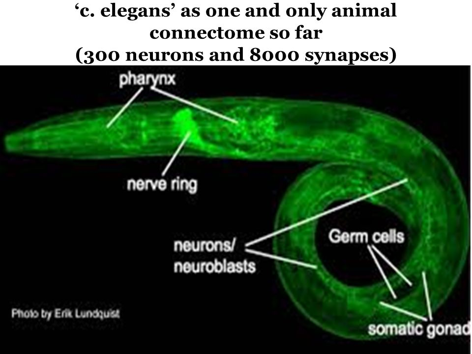 'c. elegans' as one and only animal connectome so far (300 neurons and 8000 synapses)
