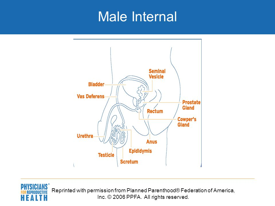  Male Internal Reprinted with permission from Planned Parenthood® Federation of America, Inc.