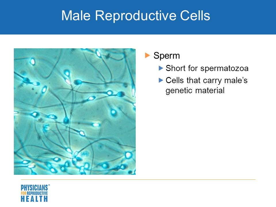  Male Reproductive Cells  Sperm  Short for spermatozoa  Cells that carry male's genetic material