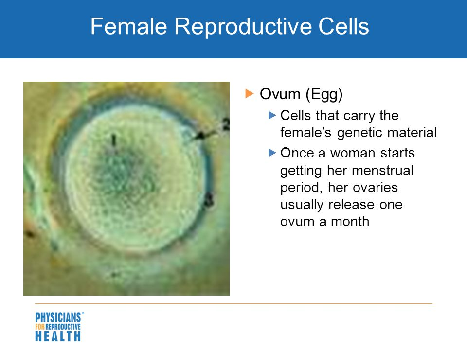  Female Reproductive Cells  Ovum (Egg)  Cells that carry the female's genetic material  Once a woman starts getting her menstrual period, her ovaries usually release one ovum a month