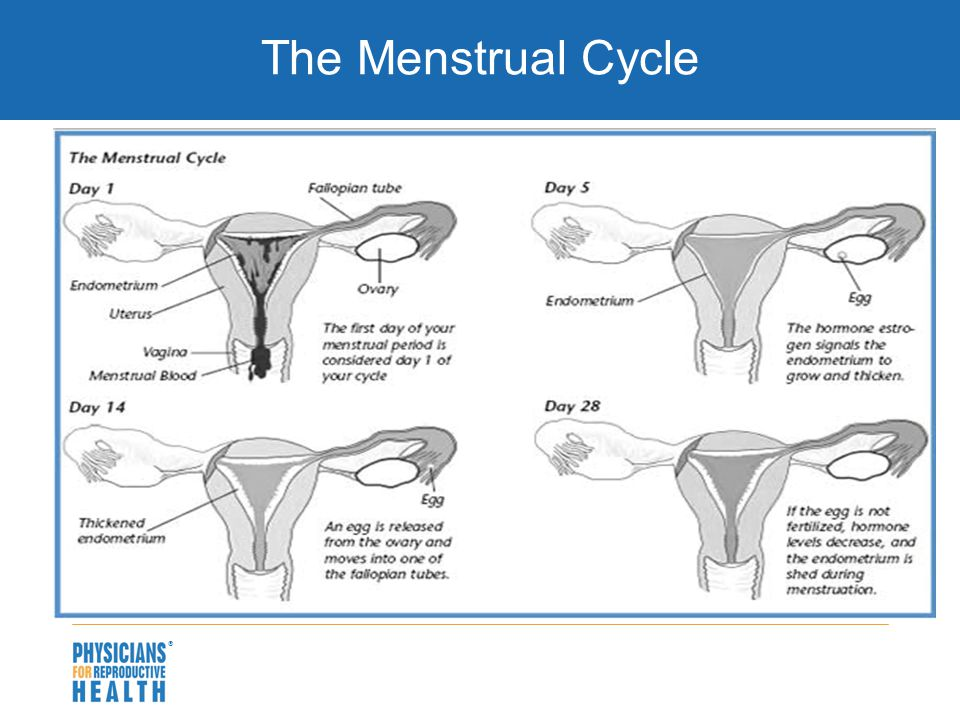  The Menstrual Cycle