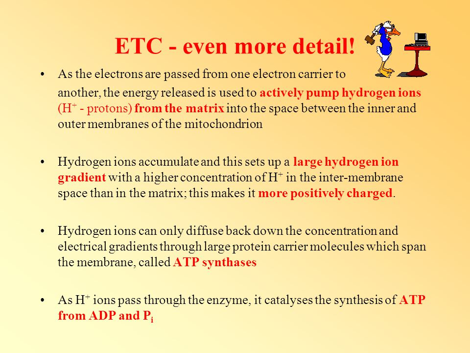 ETC - even more detail! As the electrons are passed from one electron carrier to another, the energy released is used to actively pump hydrogen ions (