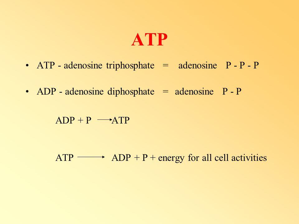 ATP ATP - adenosine triphosphate = adenosine P - P - P ADP - adenosine diphosphate =adenosine P - P ADP + P ATP ATP ADP + P + energy for all cell acti