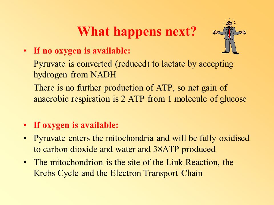 What happens next? If no oxygen is available: Pyruvate is converted (reduced) to lactate by accepting hydrogen from NADH There is no further productio
