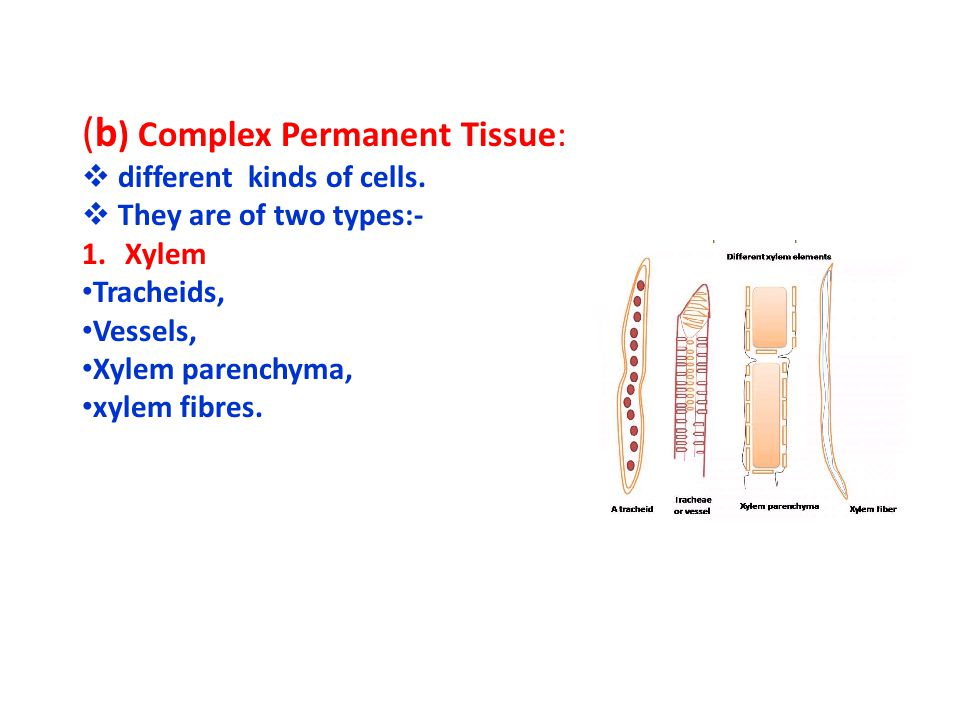 Sclerenchyma :- Cell wall highly thickened Cells are dead Intercellular space is absent Provides mechanical support