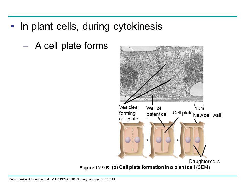 Kelas Berrtaraf Internasional SMAK PENABUR Gading Serpong 2012/2013 In plant cells, during cytokinesis – A cell plate forms Daughter cells 1 µm Vesicles forming cell plate Wall of patent cell Cell plate New cell wall (b) Cell plate formation in a plant cell (SEM) Figure 12.9 B