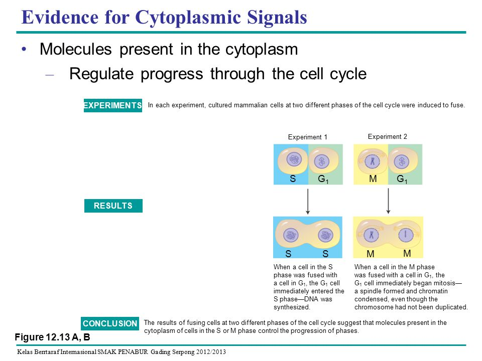 Kelas Berrtaraf Internasional SMAK PENABUR Gading Serpong 2012/2013 Evidence for Cytoplasmic Signals Molecules present in the cytoplasm – Regulate progress through the cell cycle In each experiment, cultured mammalian cells at two different phases of the cell cycle were induced to fuse.