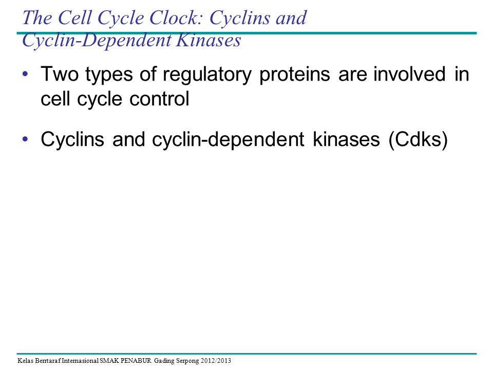 Kelas Berrtaraf Internasional SMAK PENABUR Gading Serpong 2012/2013 The Cell Cycle Clock: Cyclins and Cyclin-Dependent Kinases Two types of regulatory proteins are involved in cell cycle control Cyclins and cyclin-dependent kinases (Cdks)