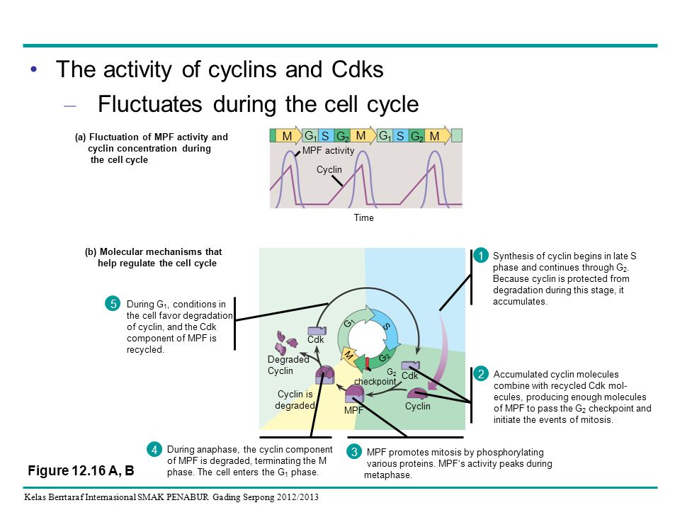 Kelas Berrtaraf Internasional SMAK PENABUR Gading Serpong 2012/2013 The activity of cyclins and Cdks – Fluctuates during the cell cycle During G 1, co