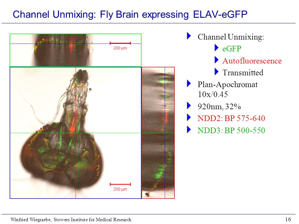 Winfried Wiegraebe, Stowers Institute for Medical Research 16 Channel Unmixing: Fly Brain expressing ELAV-eGFP  Channel Unmixing:  eGFP  Autofluorescence  Transmitted  Plan-Apochromat 10x/0.45  920nm, 32%  NDD2: BP 575-640  NDD3: BP 500-550