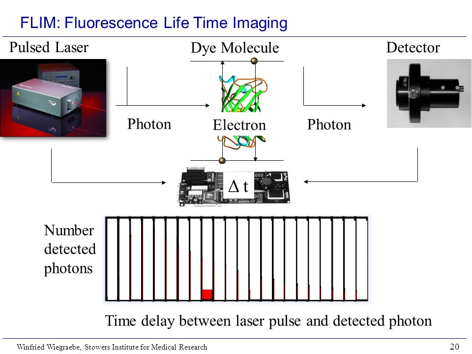 Winfried Wiegraebe, Stowers Institute for Medical Research 20 FLIM: Fluorescence Life Time Imaging Time delay between laser pulse and detected photon Number detected photons Δ t Pulsed Laser Dye Molecule Detector Photon Electron