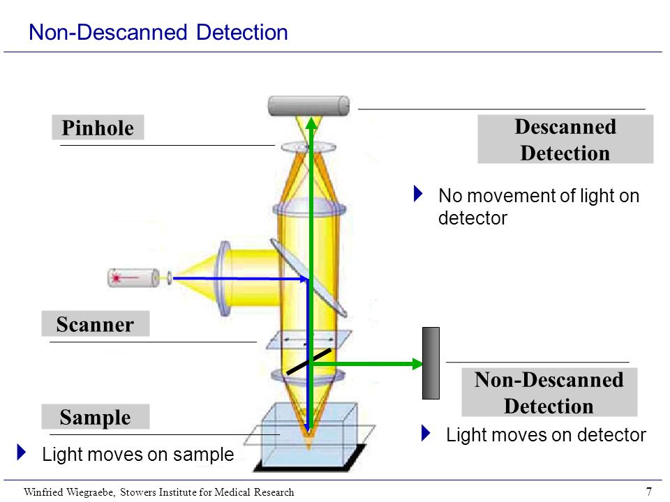 Winfried Wiegraebe, Stowers Institute for Medical Research 7 Non-Descanned Detection Descanned Detection Pinhole Scanner Sample Non-Descanned Detection  No movement of light on detector  Light moves on detector  Light moves on sample