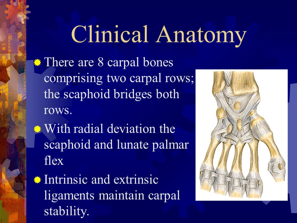 Clinical Anatomy  There are 8 carpal bones comprising two carpal rows; the scaphoid bridges both rows.  With radial deviation the scaphoid and lunat