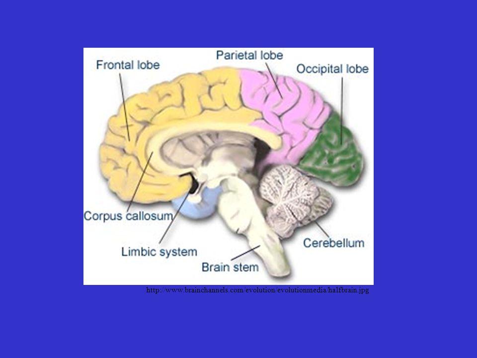 http://www.brainchannels.com/evolution/evolutionmedia/halfbrain.jpg