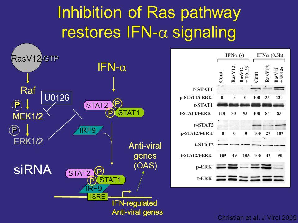 Inhibition of Ras pathway restores IFN-  signaling Raf ERK1/2P RasV12 -GTP MEK1/2P U0126 IFN-  P STAT2 STAT1 P IRF9 ISRE STAT1 IRF9 STAT2 P P IFN-regulated Anti-viral genes (OAS) P ERK1/2 RasV12 -GTP siRNA Christian et al.