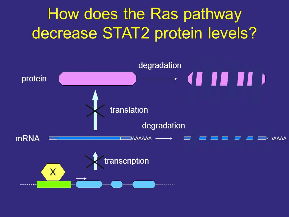 degradation How does the Ras pathway decrease STAT2 protein levels? mRNA protein transcription translation AAAAAA degradation X AAAAAA