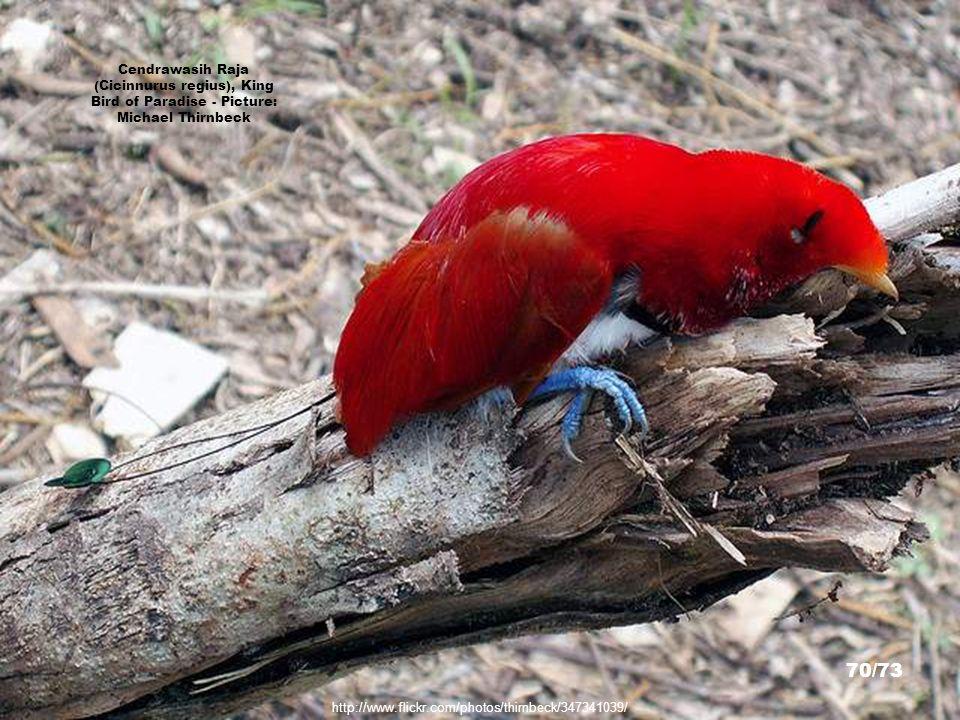 http://www.timlaman.com/ Bird of Paradise - Picture: Dr. Tim Laman 69/73