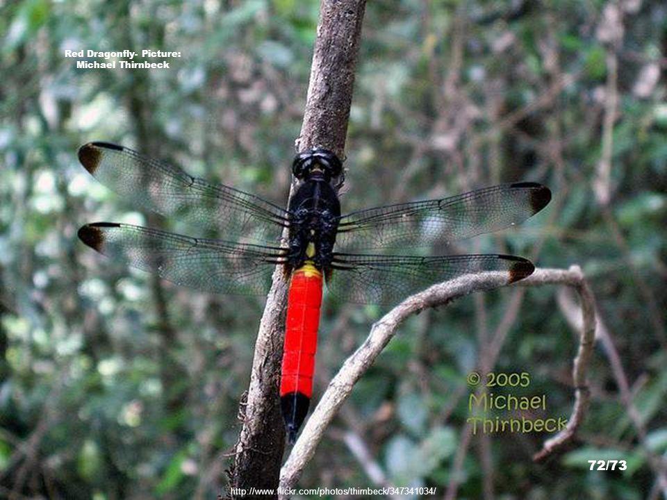 http://www.pbase.com/dougj/image/108556493 Bird of Paradise, Papua - Picture: Doug. J. 71/73