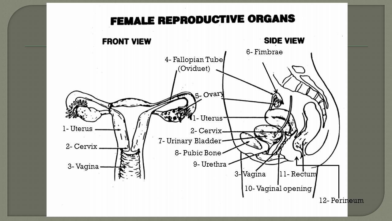 1- Uterus 2- Cervix 3- Vagina 4- Fallopian Tube (Oviduet) 5- Ovary 7- Urinary Bladder 8- Pubic Bone 9- Urethra 10- Vaginal opening 11- Rectum 6- Fimbrae 12- Perineum