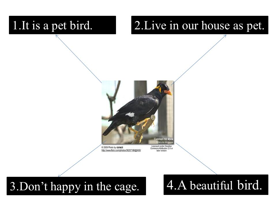 1.It is a pet bird.2.Live in our house as pet. 3.Don't happy in the cage. 4.A beautiful bird.