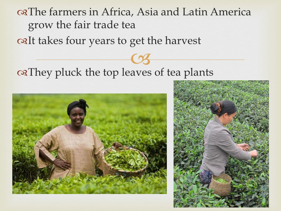   The farmers in Africa, Asia and Latin America grow the fair trade tea  It takes four years to get the harvest  They pluck the top leaves of tea