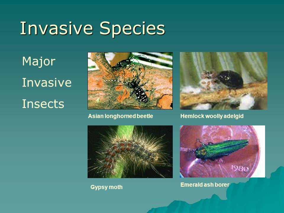 Invasive Species Asian longhorned beetleHemlock woolly adelgid Gypsy moth Emerald ash borer Major Invasive Insects