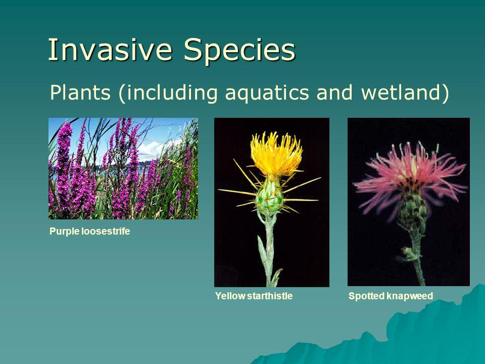 Invasive Species Plants (including aquatics and wetland) Purple loosestrife Yellow starthistleSpotted knapweed