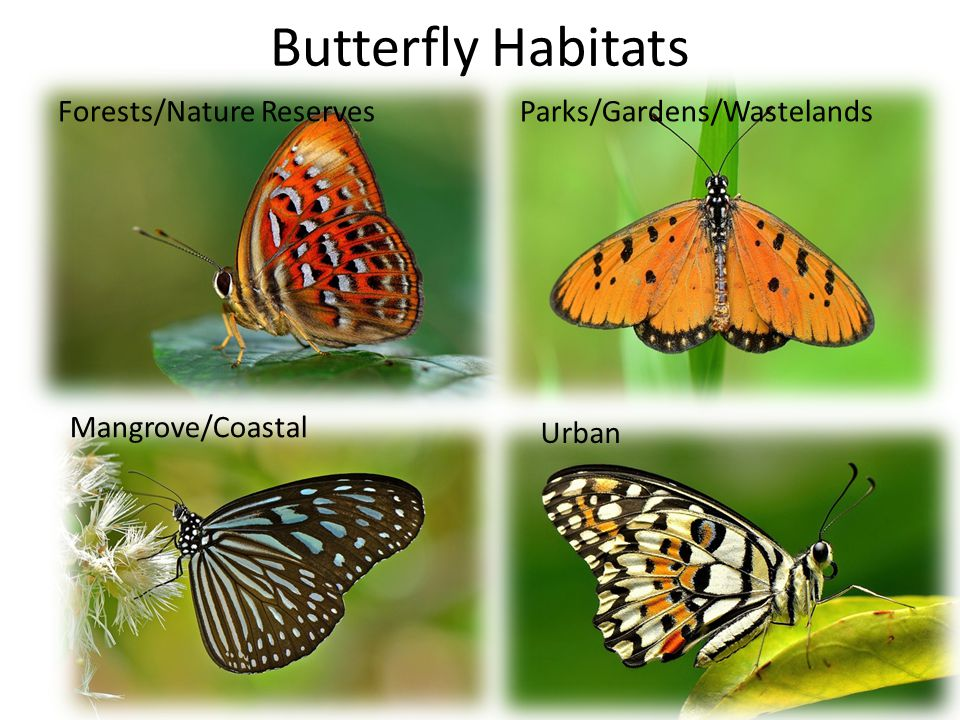 Butterfly Habitats Forests/Nature ReservesParks/Gardens/Wastelands Urban Mangrove/Coastal