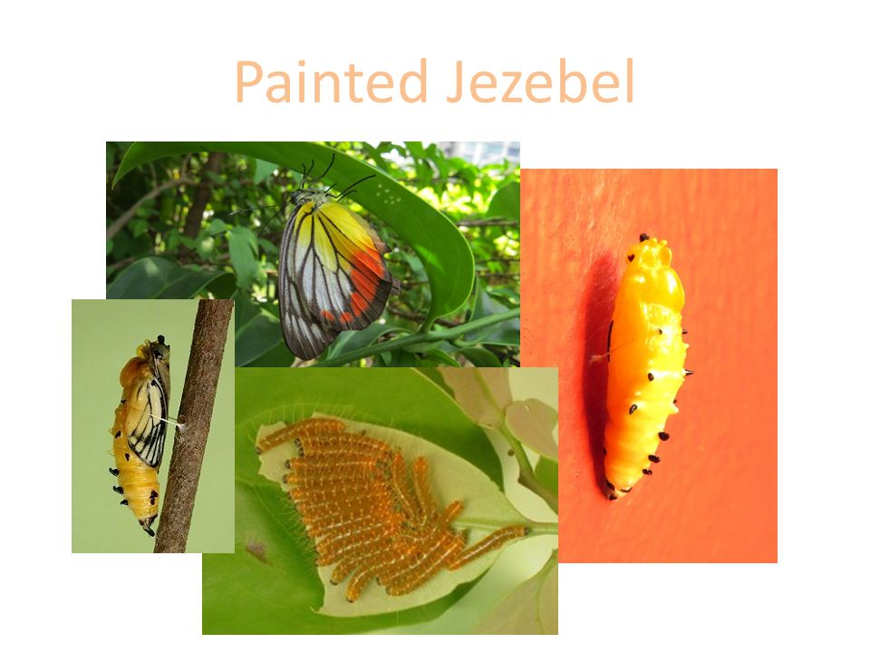Painted Jezebel