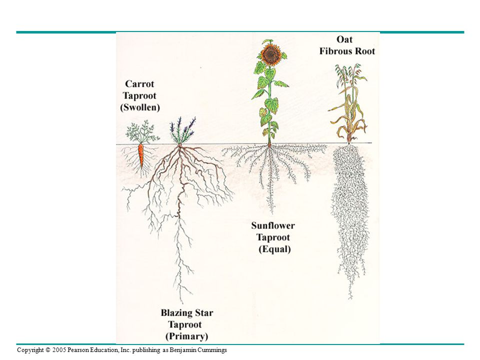 Copyright © 2005 Pearson Education, Inc. publishing as Benjamin Cummings Plant Growth Regulator