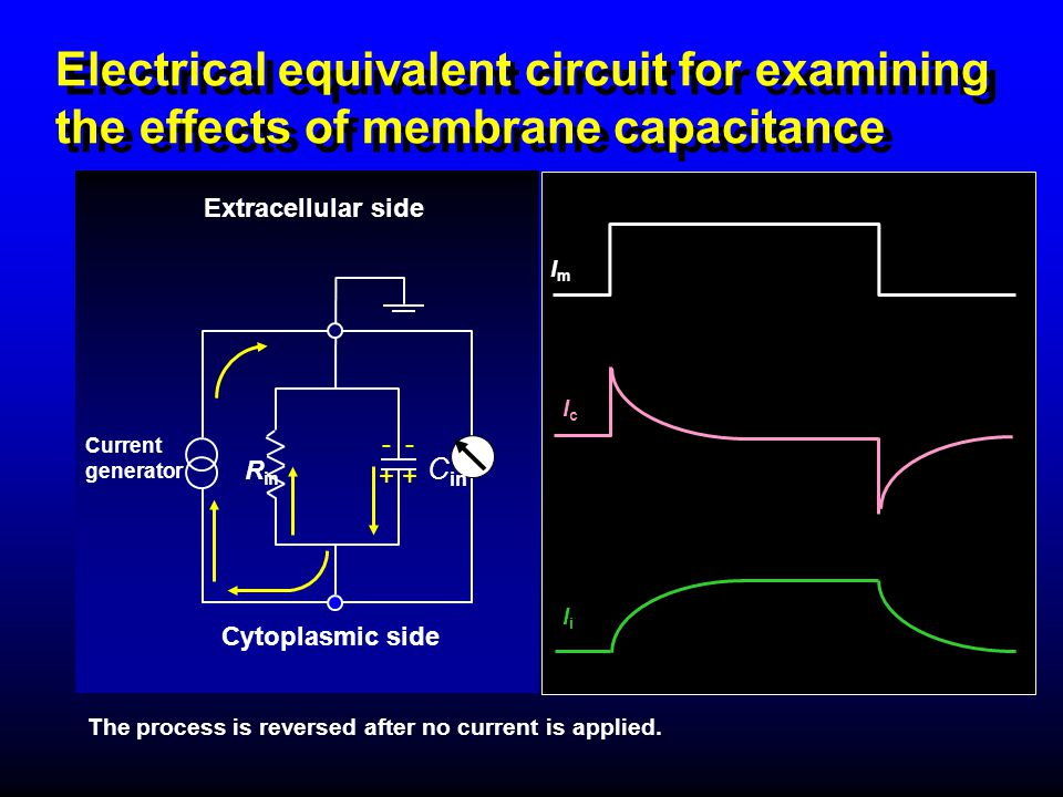 Electrical equivalent circuit for examining the effects of membrane capacitance - + Extracellular side R in Current generator Cytoplasmic side C in Th