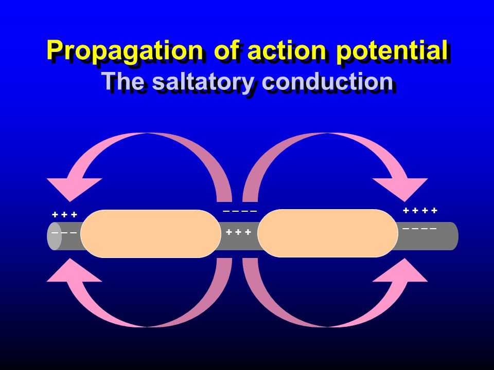 Propagation of action potential The saltatory conduction + + + _ _ _ + + _ _ _ _ _ _ + + +