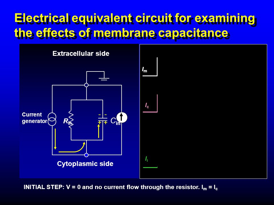 Electrical equivalent circuit for examining the effects of membrane capacitance - + Extracellular side R in Current generator Cytoplasmic side C in IN