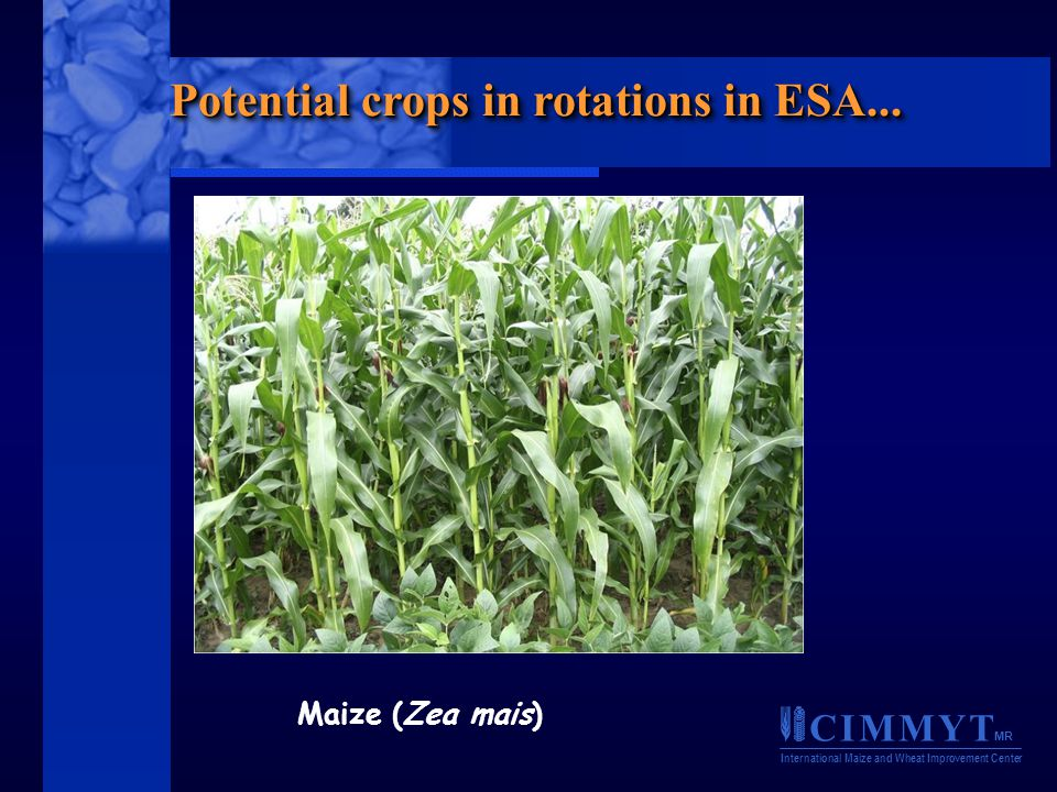 C I M M Y T MR International Maize and Wheat Improvement Center Maize (Zea mais) Potential crops in rotations in ESA...