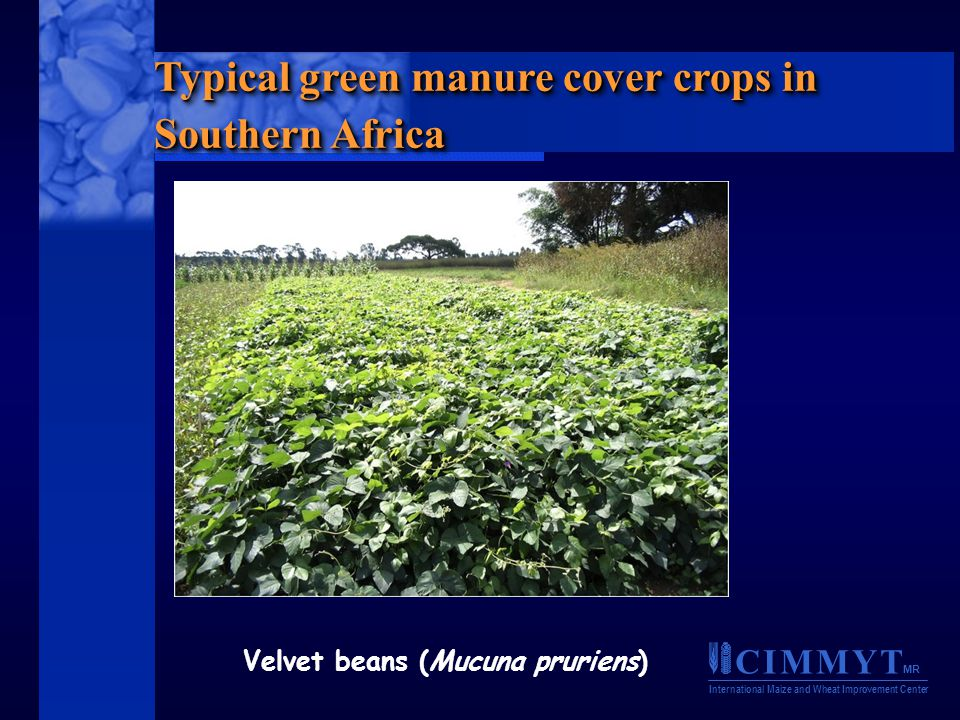 C I M M Y T MR International Maize and Wheat Improvement Center Typical green manure cover crops in Southern Africa Velvet beans (Mucuna pruriens)