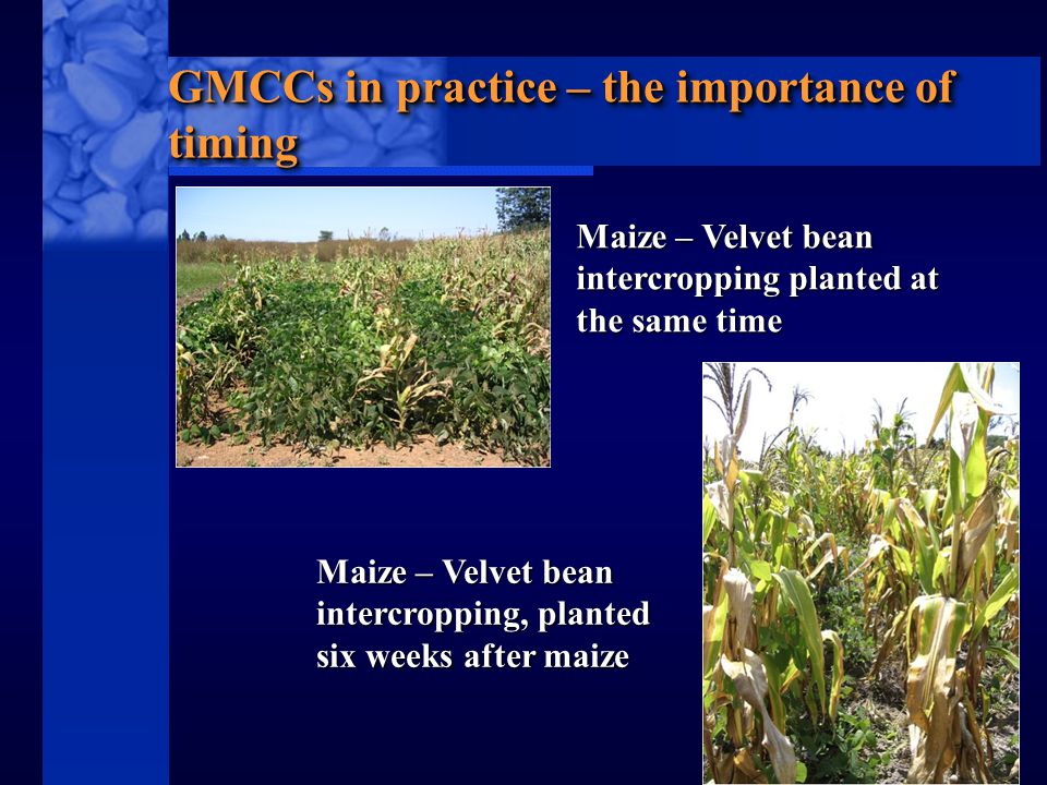 C I M M Y T MR International Maize and Wheat Improvement Center GMCCs in practice – the importance of timing Maize – Velvet bean intercropping planted at the same time Maize – Velvet bean intercropping, planted six weeks after maize