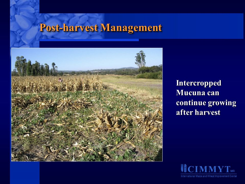 C I M M Y T MR International Maize and Wheat Improvement Center Post-harvest Management Intercropped Mucuna can continue growing after harvest