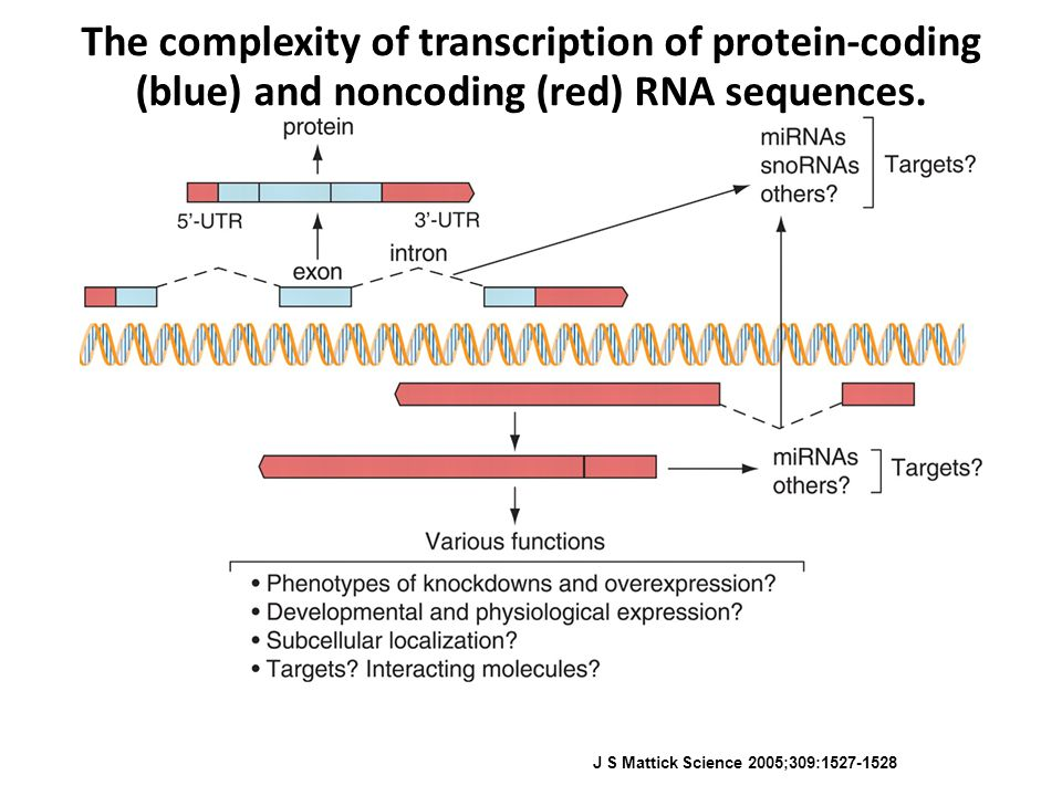 The complexity of transcription of protein-coding (blue) and noncoding (red) RNA sequences. J S Mattick Science 2005;309:1527-1528