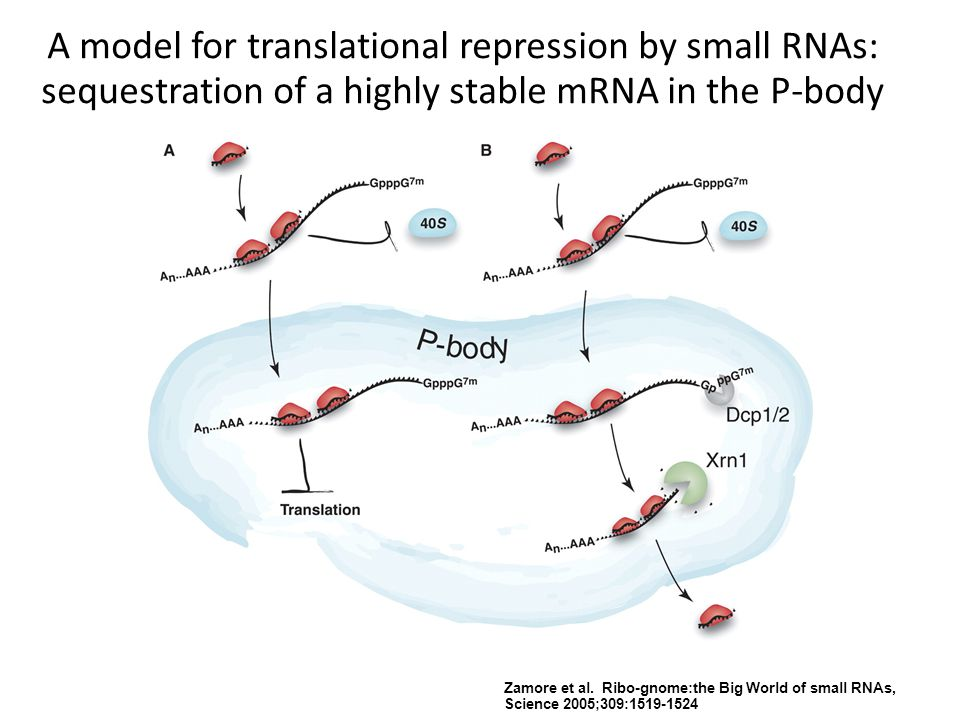 A model for translational repression by small RNAs: sequestration of a highly stable mRNA in the P-body Zamore et al. Ribo-gnome:the Big World of smal