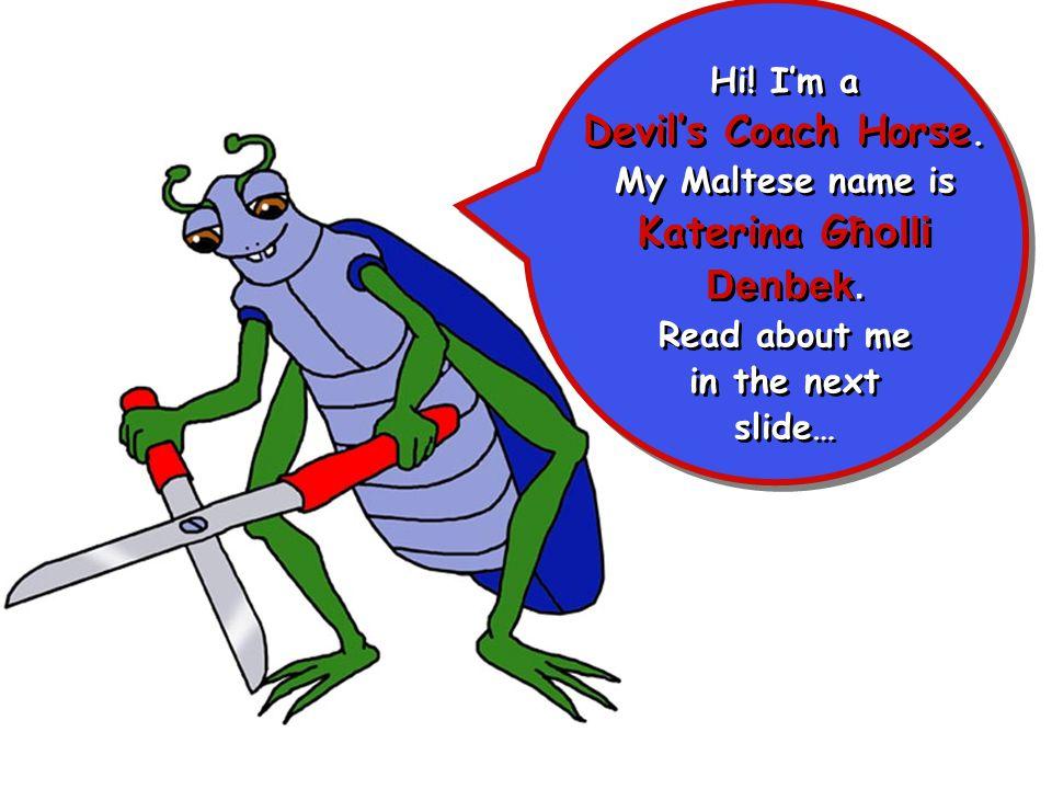 Hi! I'm a Devil's Coach Horse. My Maltese name is Katerina G ħolli Denbek. Read about me in the next slide… Hi! I'm a Devil's Coach Horse. My Maltese